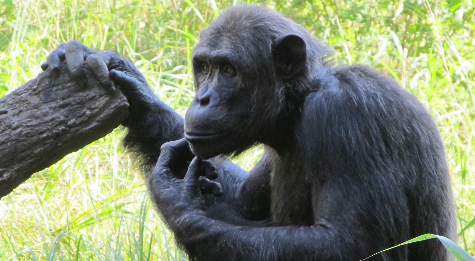 confused-chimp